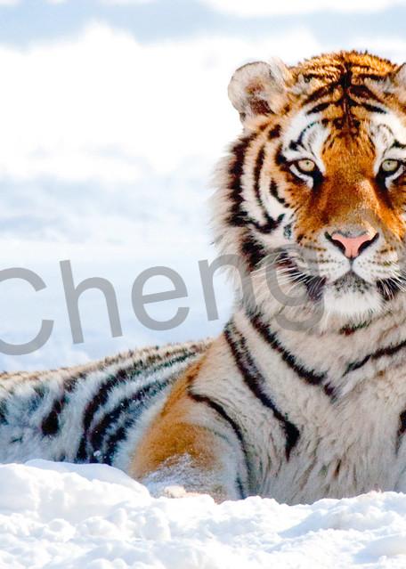 Tigers 047 Photography Art | Cheng Yan Studio
