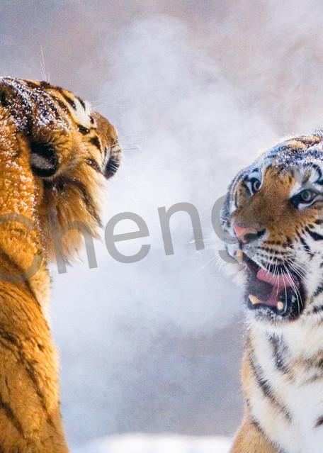 Tigers 079 Photography Art | Cheng Yan Studio