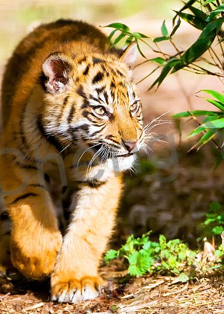 Tigers 096 Photography Art | Cheng Yan Studio