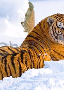 Tigers 102 Photography Art | Cheng Yan Studio