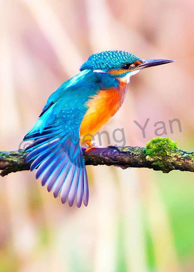 Kingfishers 001 Photography Art | Cheng Yan Studio
