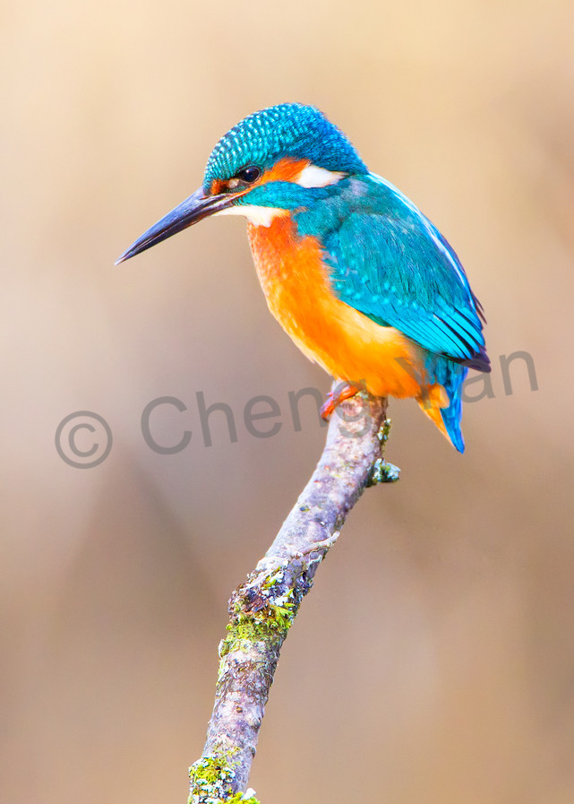 Kingfishers 003 Photography Art | Cheng Yan Studio