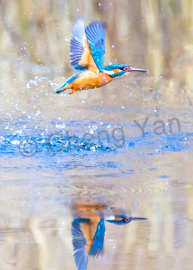 Kingfishers 005 Photography Art | Cheng Yan Studio