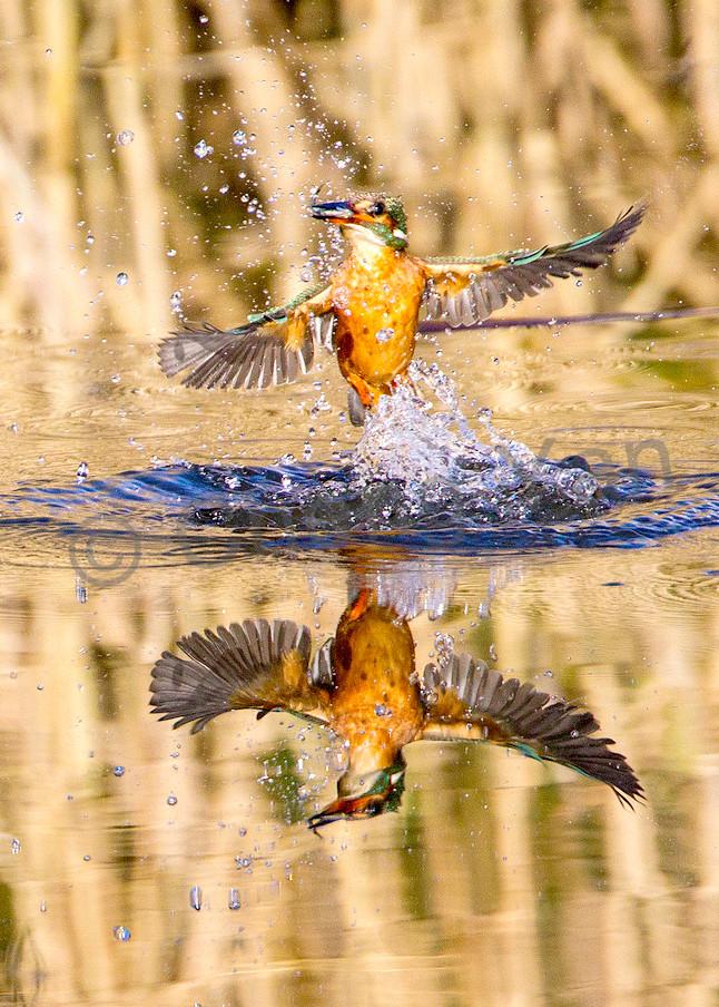 Kingfishers 023 Photography Art | Cheng Yan Studio