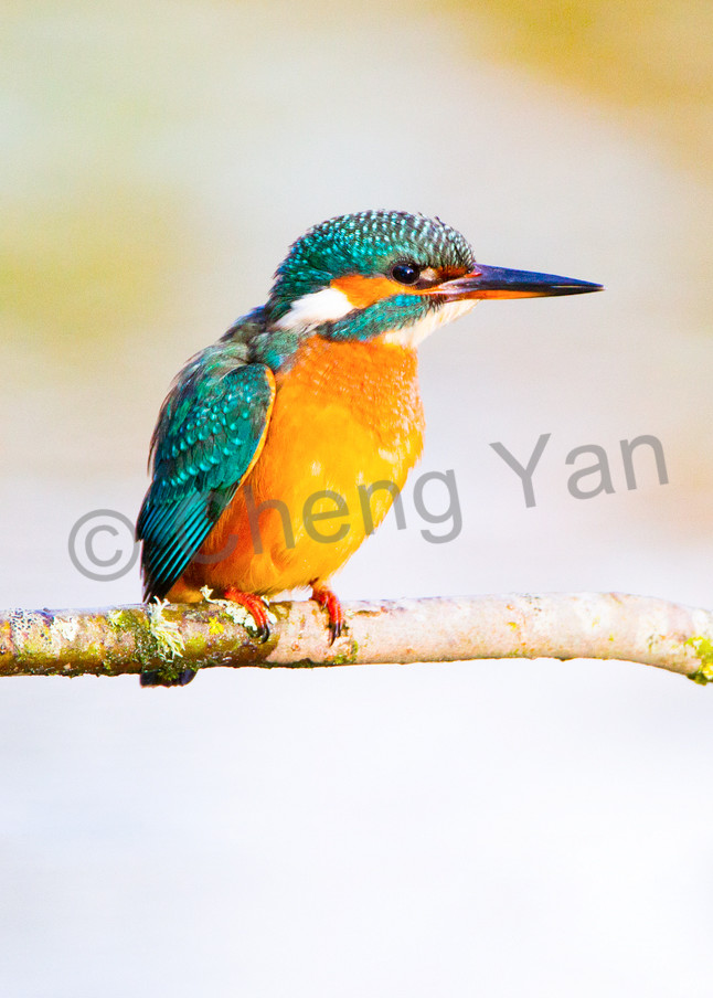 Kingfishers 064 Photography Art | Cheng Yan Studio