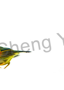 Pekin Robins And Chinese Birds 004 Photography Art | Cheng Yan Studio