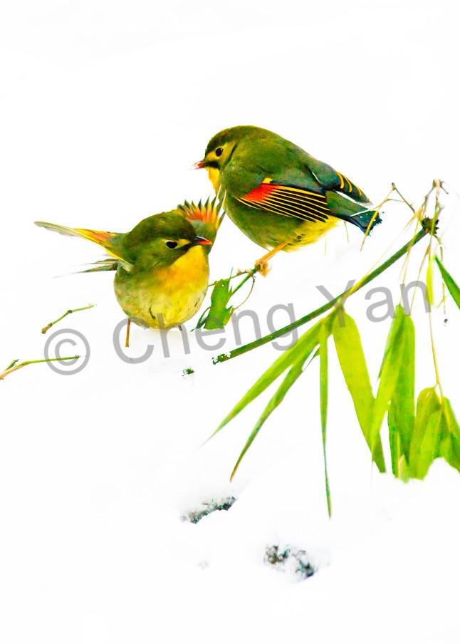 Pekin Robins And Chinese Birds 006 Photography Art | Cheng Yan Studio