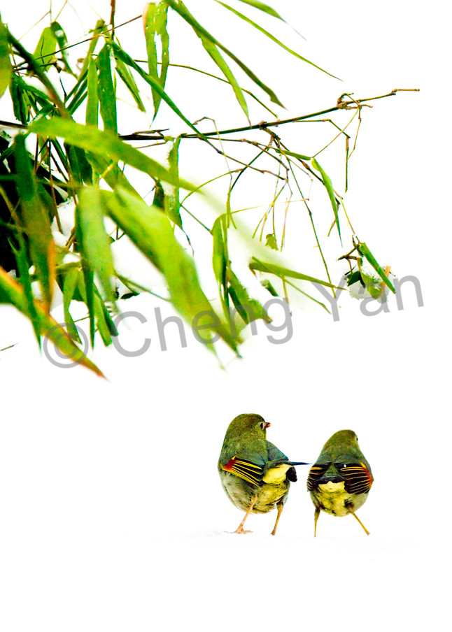 Pekin Robins And Chinese Birds 007 Photography Art | Cheng Yan Studio