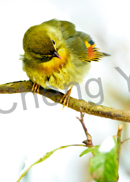 Pekin Robins And Chinese Birds 008 Photography Art   Cheng Yan Studio