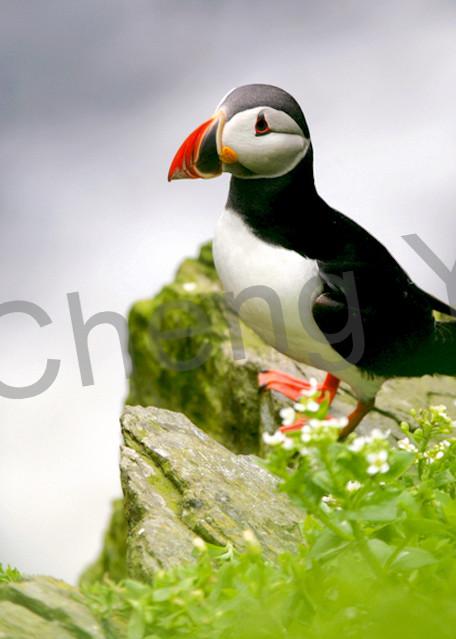 Puffins And Sea Birds 006 Photography Art | Cheng Yan Studio