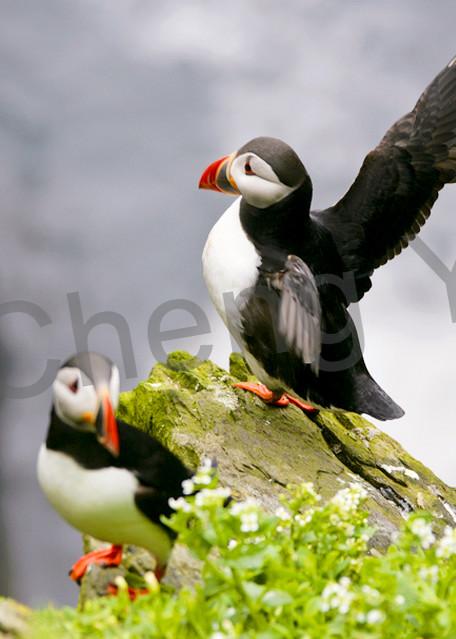 Puffins And Sea Birds 005 Photography Art | Cheng Yan Studio