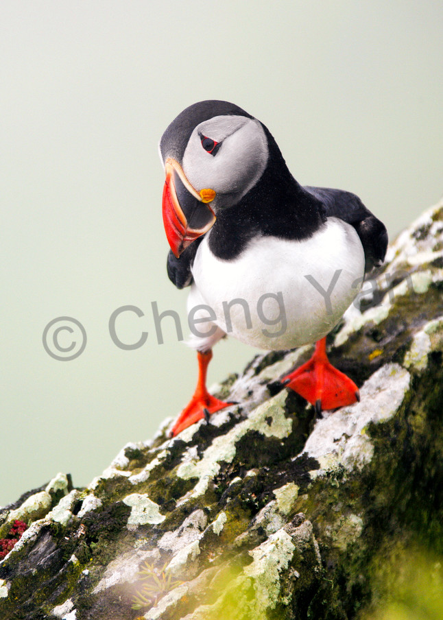 Puffins And Sea Birds 004 Photography Art | Cheng Yan Studio