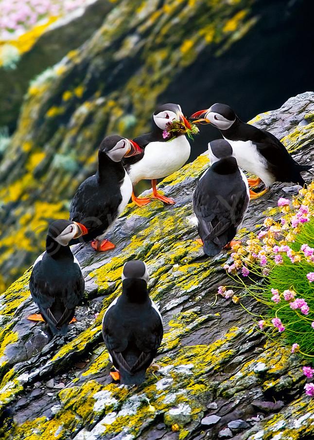 Puffins And Sea Birds 001 Photography Art | Cheng Yan Studio