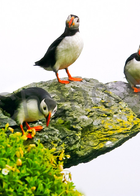 Puffins And Sea Birds 008 Photography Art | Cheng Yan Studio
