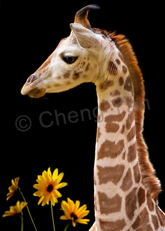 Giraffes 012 Photography Art   Cheng Yan Studio