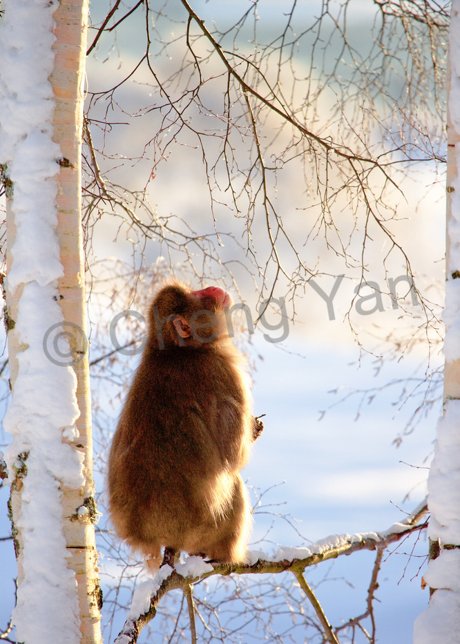 Japanese Macaques 008 Photography Art | Cheng Yan Studio