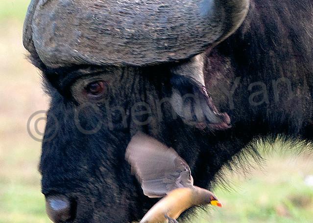 Buffalos And Wild Beasts 005 Photography Art | Cheng Yan Studio