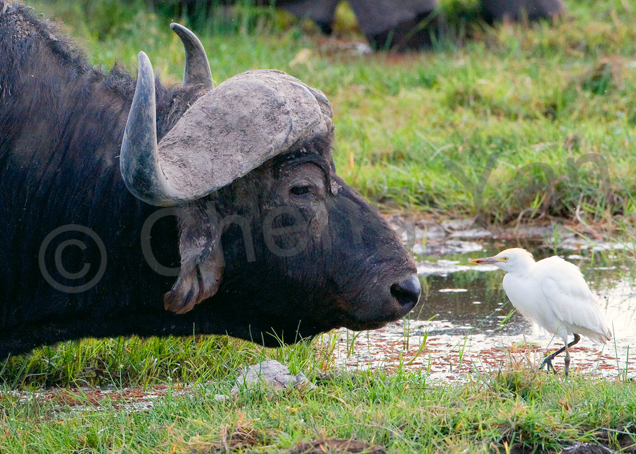 Buffalos And Wild Beasts 002 Photography Art   Cheng Yan Studio