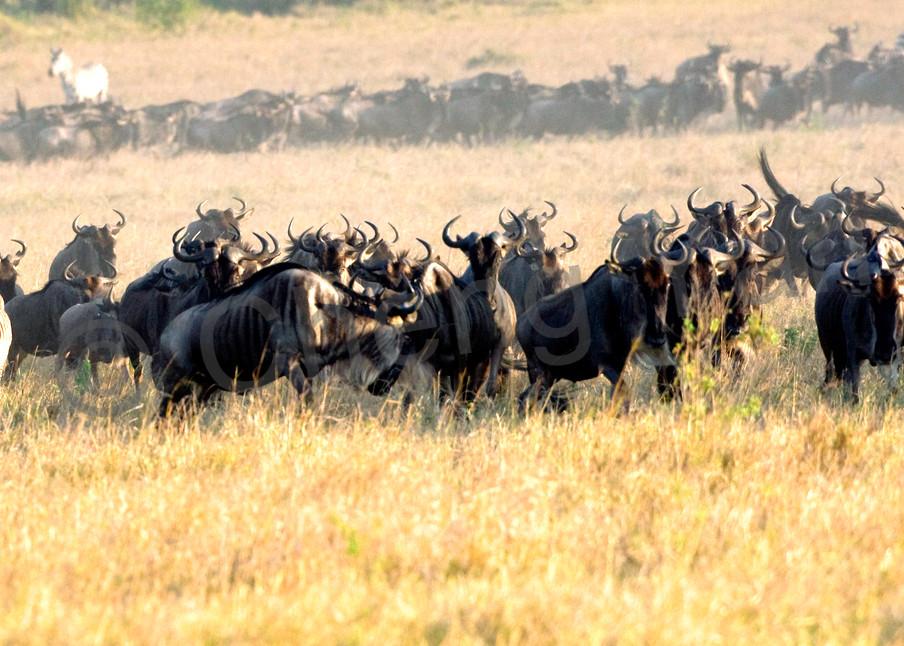 Buffalos And Wild Beasts 010 Photography Art | Cheng Yan Studio