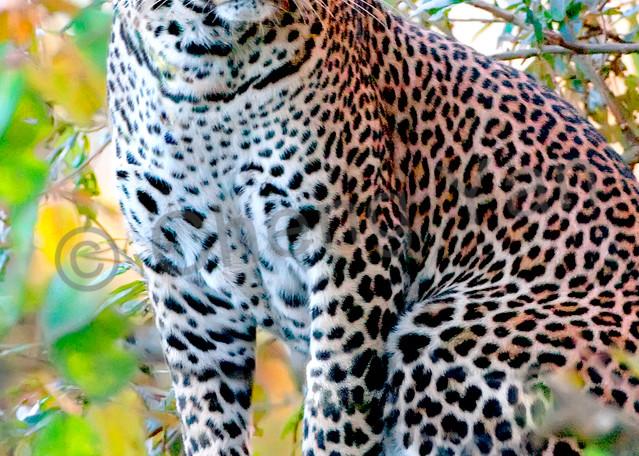 Leopards 002 Photography Art | Cheng Yan Studio