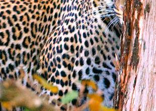 Leopards 004 Photography Art | Cheng Yan Studio