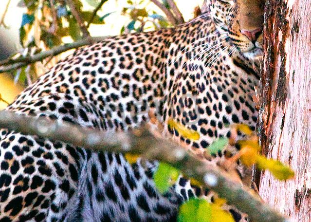 Leopards 006 Photography Art | Cheng Yan Studio