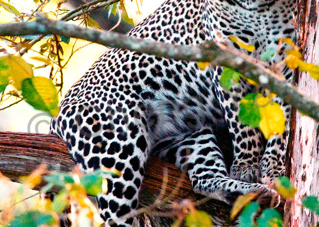 Leopards 003 Photography Art | Cheng Yan Studio