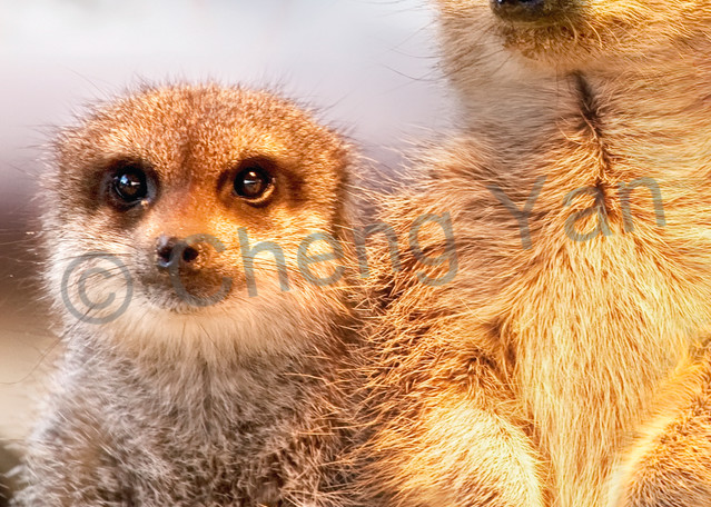 Meerkats 004 Photography Art | Cheng Yan Studio