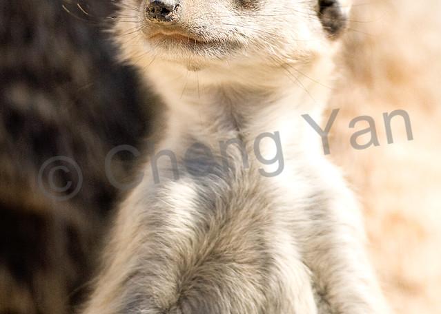 Meerkats 007 Photography Art | Cheng Yan Studio