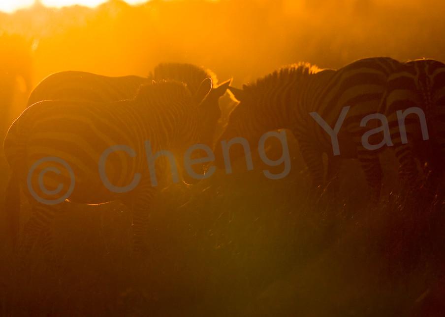 Zebras 006 Photography Art   Cheng Yan Studio