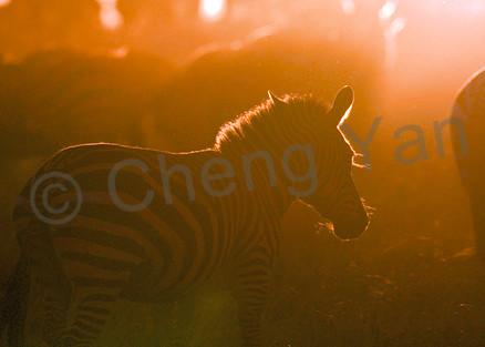 Zebras 011 Photography Art | Cheng Yan Studio