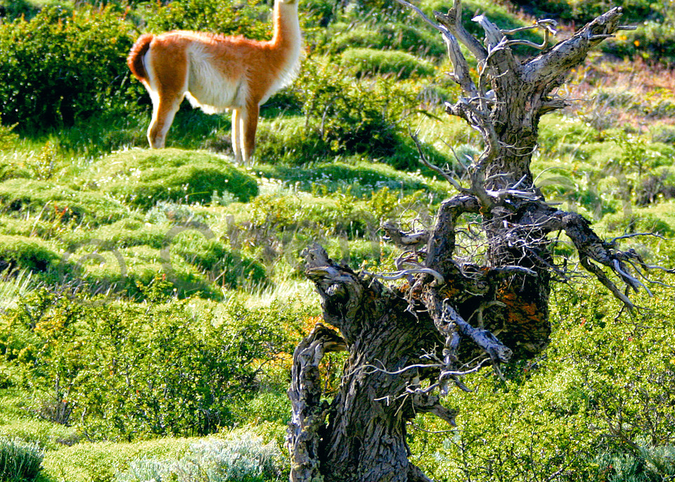 Llama 002 Photography Art | Cheng Yan Studio