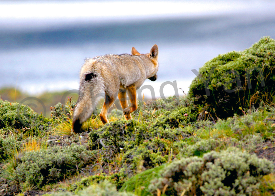 Patagonian Foxes 004 Photography Art | Cheng Yan Studio