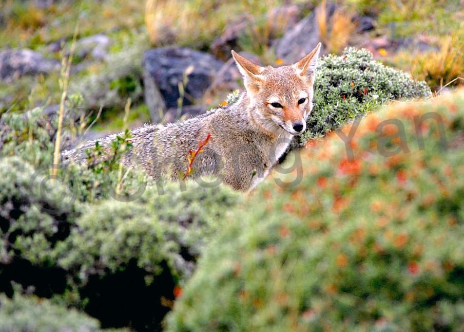 Patagonian Foxes 003 Photography Art | Cheng Yan Studio