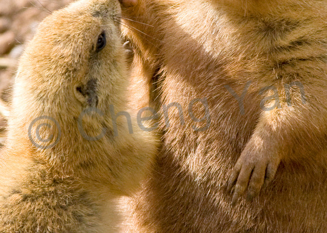 Prairie Dogs 002 Photography Art | Cheng Yan Studio