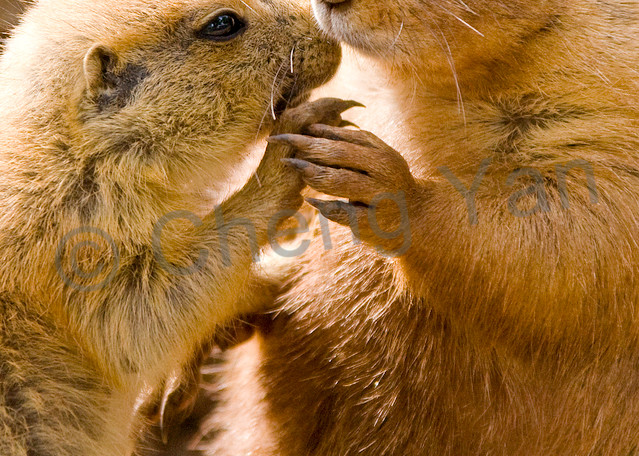 Prairie Dogs 001 Photography Art | Cheng Yan Studio