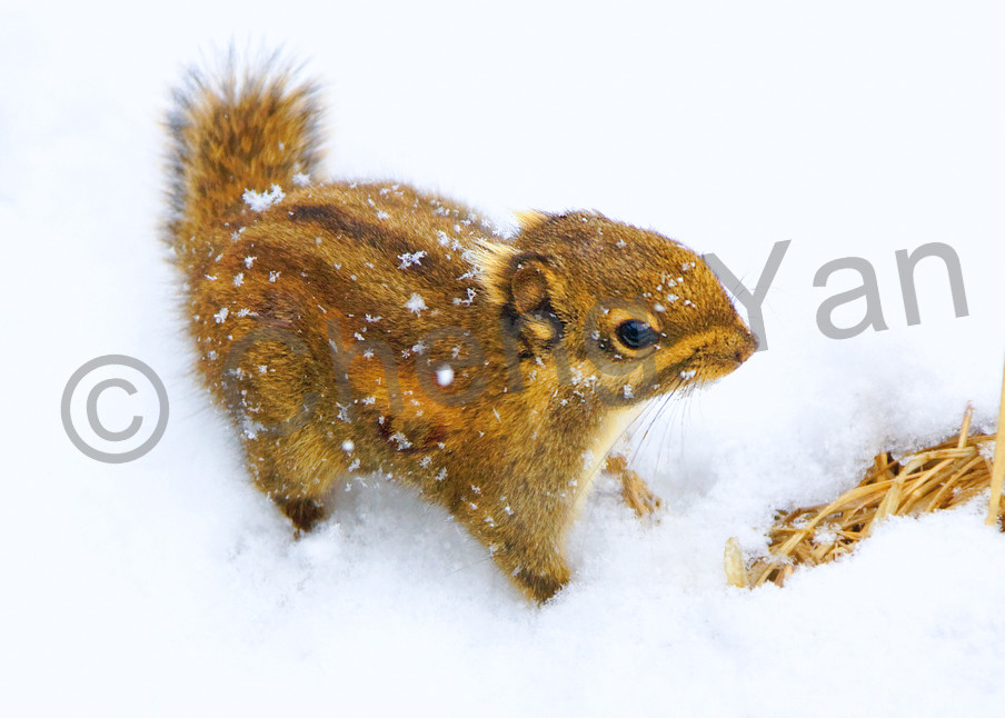 Squirrels And Chipmunks 005 Photography Art | Cheng Yan Studio