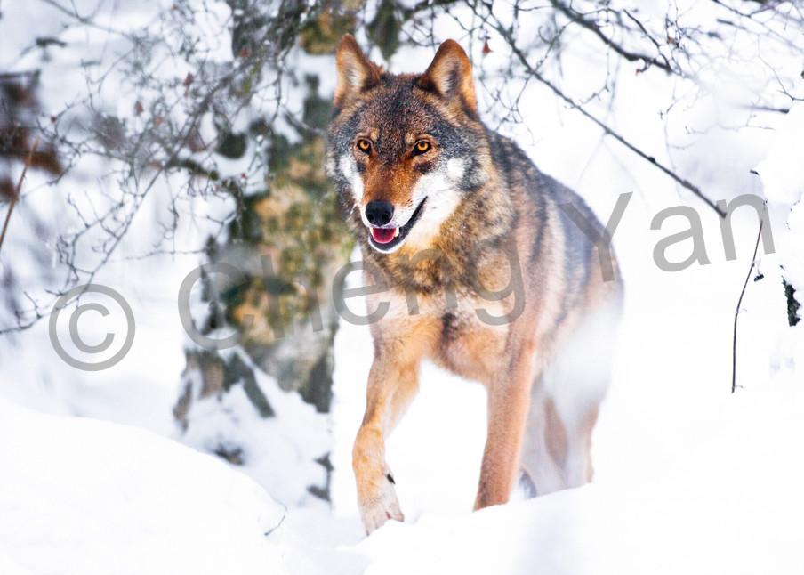 Wolves 017 Photography Art | Cheng Yan Studio