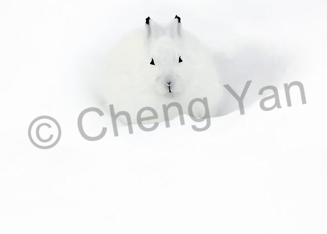Other Arctic Animals 001 Photography Art | Cheng Yan Studio