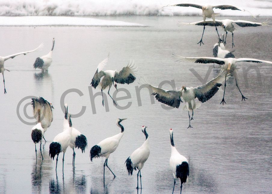 Red Crowned Cranes 026 Photography Art | Cheng Yan Studio