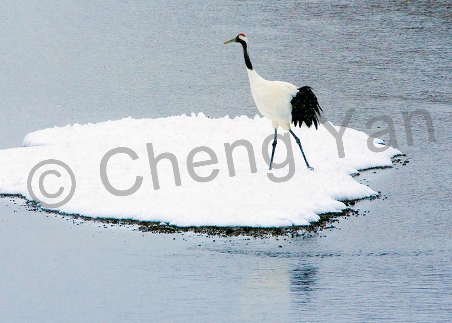 Red Crowned Cranes 035 Photography Art | Cheng Yan Studio