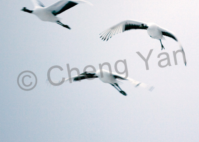 Red Crowned Cranes 037 Photography Art | Cheng Yan Studio