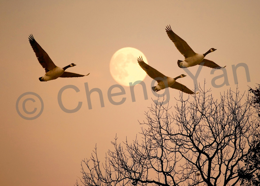 Red Crowned Cranes 039 Photography Art | Cheng Yan Studio