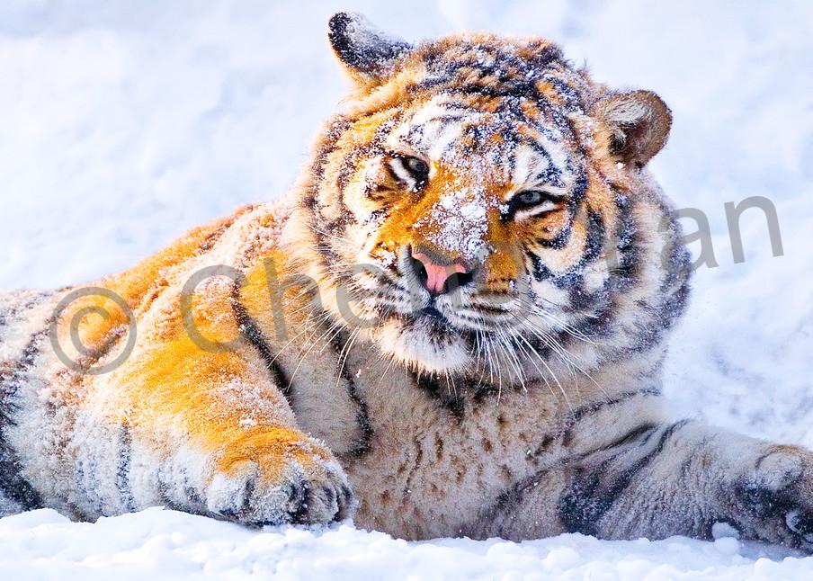 Tigers 008 Photography Art | Cheng Yan Studio