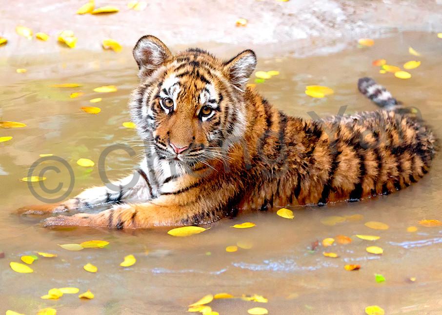 Tigers 011 Photography Art | Cheng Yan Studio