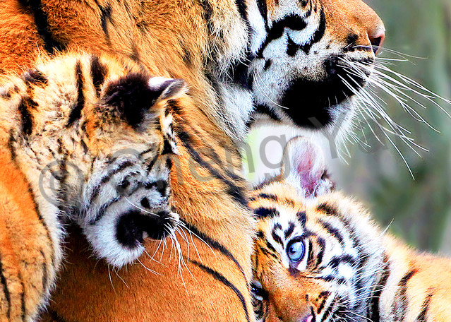 Tigers 007 Photography Art   Cheng Yan Studio