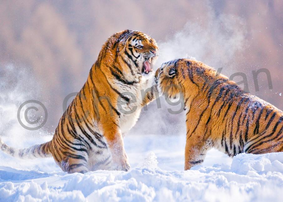 Tigers 080 Photography Art   Cheng Yan Studio