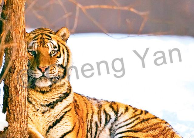 Tigers 085 Photography Art | Cheng Yan Studio