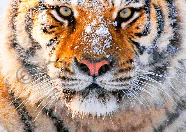 Tigers 082 Photography Art   Cheng Yan Studio