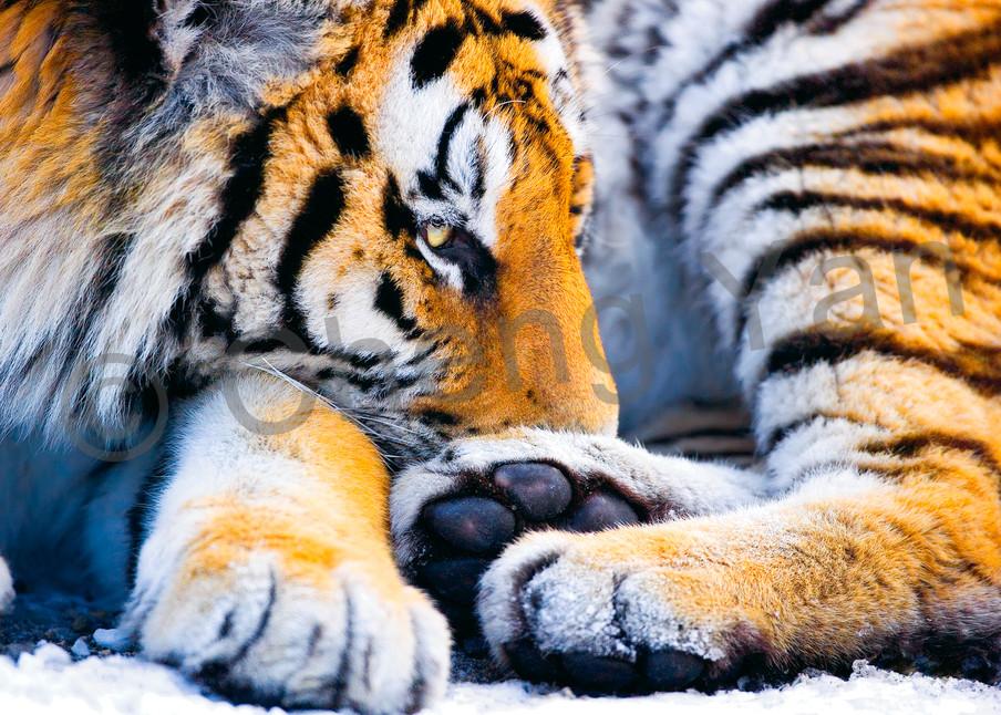 Tigers 088 Photography Art | Cheng Yan Studio